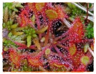Roua cerului planta carnivora