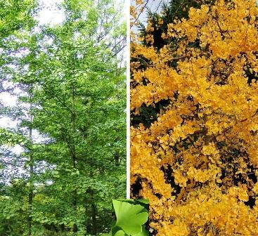 Ginkgo biloba arborele vietii
