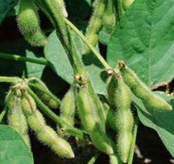 Despre soia si boabele de soia