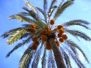 Despre curmali curmale cocotieri si nuca de cocos