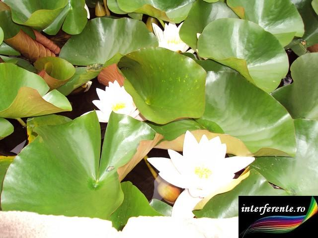 Floarea de lotus